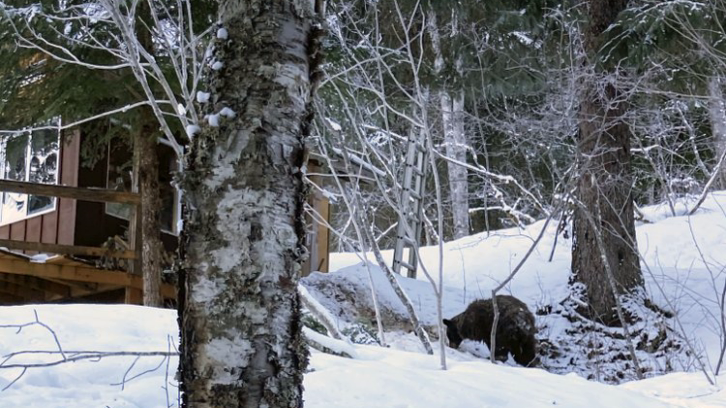 A bear seen near where Alaska resident Shannon Stevens was bitten from underneath a day before while in an outhouse northwest of Haines, Alaska