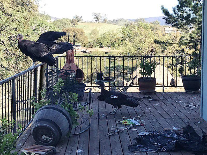 California condors rest on Cinda Mickols' porch