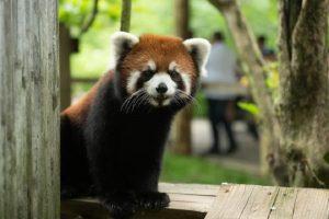 Kora, Red Panda