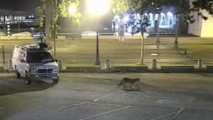 surveillance footage of the disoriented mountain lion in San Francisco