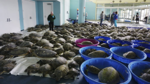 Thousands of Atlantic green sea turtles and Kemp's ridley sea turtles suffering from cold stun are laid out to recover at the South Padre Island Convention Center on South Padre Island, Texas