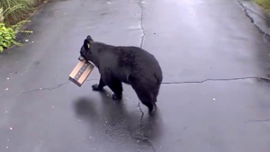 black bear in driveway holding amazon box in its mouth