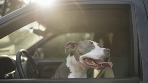 dog in driver's seat of car