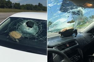 turtle lying on car dashboard with shattered windshield