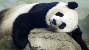 Giant panda Mei Xiang back in 2015 sleeping in her indoor habitat at Smithsonian National Zoo in Washington, D.C.