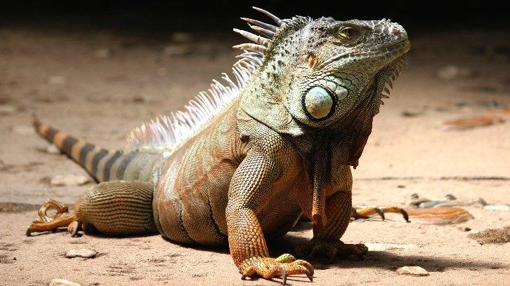 iguana on sandy terrain