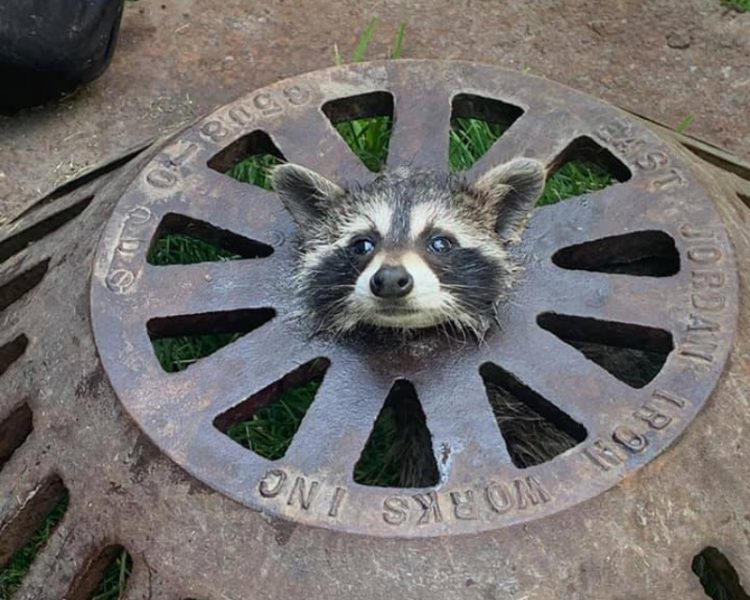 baby raccoon with head stuck in sewer cover
