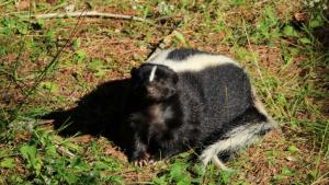 skunk lying on grass
